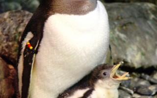 首只在香港诞生的企鹅宝宝。(海洋公园提供)