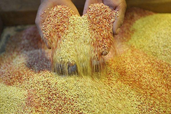 2011年2月15日,玻利維亞,一家在查亞帕塔(Challapata),距奧魯羅(Oruro)117公里的藜麥加工廠員工正在檢視藜麥。(Aizar Raldes/AFP/Getty Images)