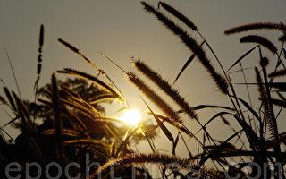 色彩斑斓的季节,当宝贵的稻谷被人们收割后,狗尾巴依然活跃在狗尾巴不知死活地抓住每一秒每一分活着的时光,它为自己而活。(王嘉益 / 大纪元)