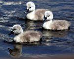 5月10日,多塞特的阿伯茨伯里天鹅饲养场,刚孵出的小天鹅优游(摄影:Matt Cardy / Getty Images)