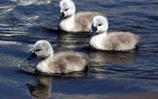 组图:英国阿伯茨伯里小天鹅初游 优雅自在
