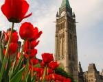 渥太华国会山前的郁金香绽放。(摄影: 乔纳生 / 大纪元)