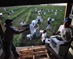 科罗拉多州的农场劳工,美国农场依赖移民劳工,本周四美国最高法院裁决支持亚利桑那州的打击雇用非法移民的法律,使一些企业及农场主感到恼火。  (Photo by John Moore/Getty Images)