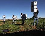 科罗拉多州的农场工人,一个新立法趋势将要求美国企业必须为所雇员工进行电子身份验证(E-Verify),这将对80%农场工人为非法移民的农业造成严重影响。 (Photo by John Moore/Getty Images)