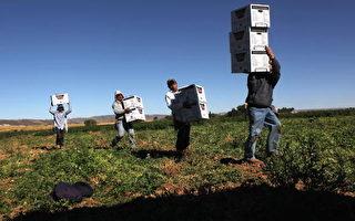 禁雇非法移民 美國農業將受極大影響