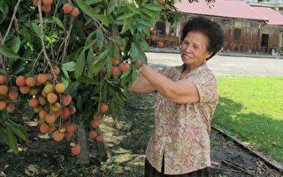 圖:陳家古厝院子的老荔枝樹最近結實纍纍,讓黃奶奶回想起古厝的百年風華。00-6-26-1(集集鎮公所提供)