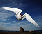 北极燕鸥(Arctic Tern)归航(Dan Kitwood/Getty Images)