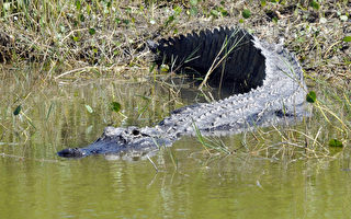 週五(7月8日)佛羅里達再傳鱷魚傷人案。(攝影:BRUCE WEAVER/AFP/Getty Images)