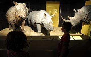 小偷盗窃博物馆犀牛角 结果是赝品