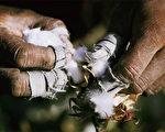 图为 由于不能用污水来灌溉,河南癌症村民无法种植谷物与菜,只能种棉花。(AFP/Getty Images)
