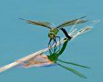 蜻蜓翅膀的特点是快速和机动性(AFP PHOTO/JEAN-PIERRE CLATOT)