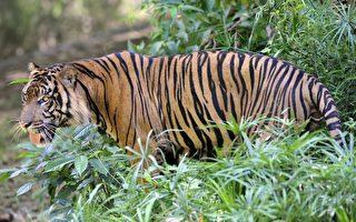 专家:大型猫科动物20年内恐灭绝