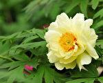 牡丹花(摄影:苏玉芬 / 大纪元)
