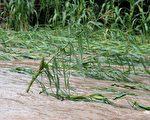 科学家近日发现,植物有感知周围环境缺氧的能力,并会在此时启动细胞内的助氧基因。(摄影:ORLANDO SIERRA/AFP/Getty Images)