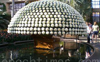 直径12英尺的北美最大的菊花,1167朵菊花同株。(摄影: 司瑞/大纪元)