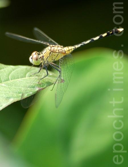 台湾最常见的蜻蜓─ ─蓝小蜻