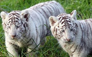 組圖:法國兩白虎幼仔  模樣超可愛