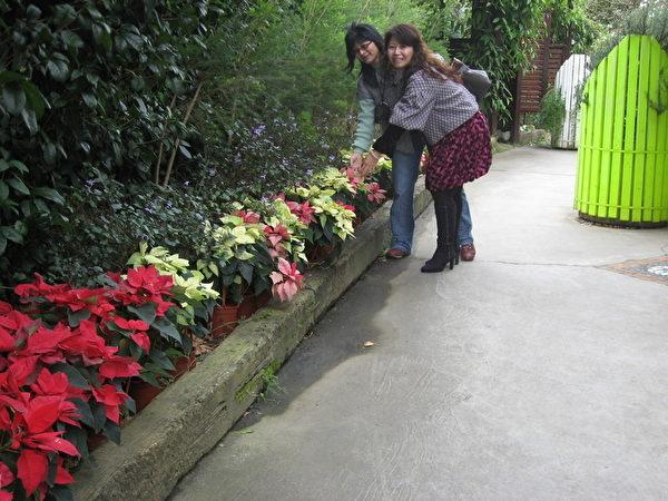 游客观赏花海缤纷的圣诞红(摄影:陈文敏/大纪元)