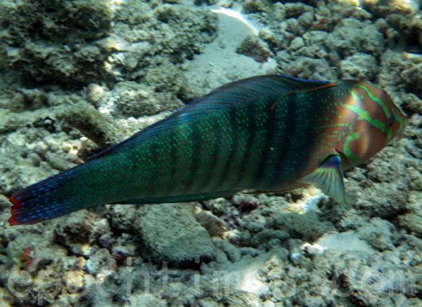 馬爾代夫熱帶魚(攝影:G.S/大紀元)