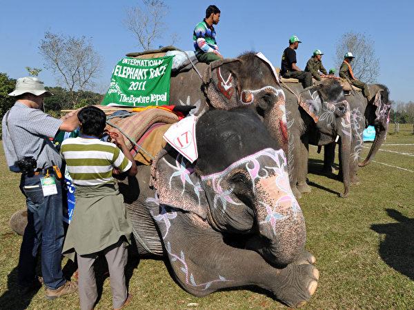 """第八届""""国际大象节""""12月26日在尼泊尔举行,有足球比赛、马球赛、赛跑,以及大象选美赛等赛事。(STR: PRAKASH MATHEMA / AFP ImageForum)"""