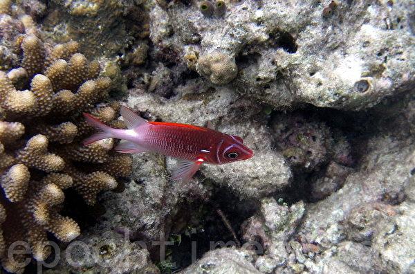 馬爾代夫熱帶魚/斑馬魚(攝影:GS/大紀元)