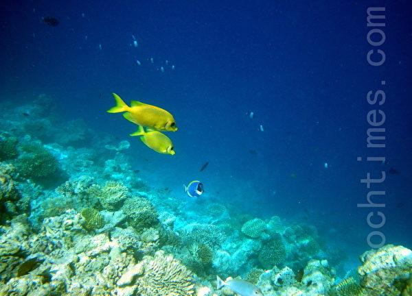 馬爾代夫熱帶魚/一對(攝影:GS/大紀元)