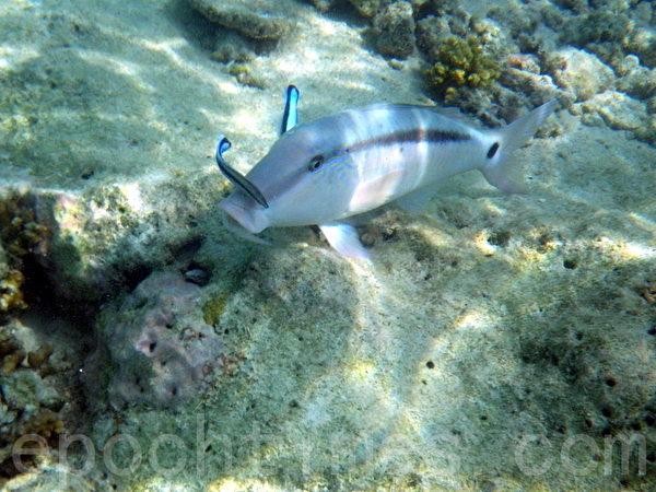 馬爾代夫熱帶魚(攝影:GS/大紀元)