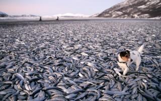 2012年1月2日,挪威特羅姆斯郡(Nordreisa)一處海灘驚現超過20噸死魚鋪滿整片海岸。(AFP PHOTO/ Jan Petter Jorgensen)