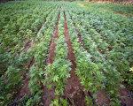 墨西哥北部古拉坎山,军方1月30日执行大麻销毁任务。图为大麻田。(ALFREDO ESTRELLA / AFP)