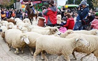 具有浓厚瑞士风情的万羊奔腾秀将清境农场51周年庆活动带向最高潮。(摄影:林萌骞/ 大纪元)