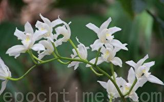 組圖二:蘭花的奇妙   自然之傑作