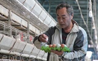 芳苑鄉雞農許書昌生產品牌雞蛋,禽流感風暴中還是供不應求。(攝影: 郭益昌 / 大紀元)