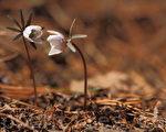 韩国首尔安养修理山早春中开放的菟葵。(摄影:全宇/大纪元)