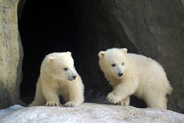 2012年3月15日,莫斯科动物园里,三只北极熊的其中两只走出洞穴(ANDREY SMIRNOV/AFP)