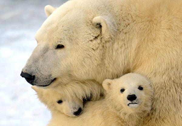 2012年3月22日,母熊与其中二只熊宝宝(ANDREY SMIRNOV/AFP)