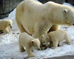 组图:莫斯科动物园北极熊宝宝初看世界