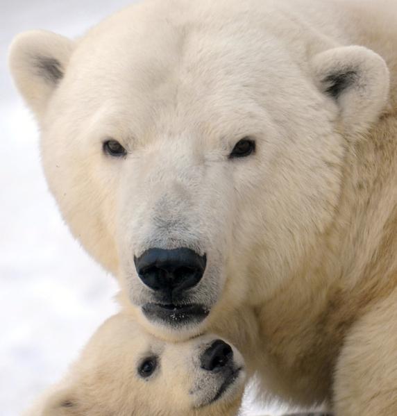 2012年3月22日,莫斯科动物园,熊宝宝有时依偎在母熊身旁(ANDREY SMIRNOV/AFP)