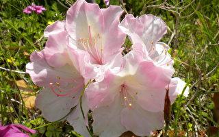 日本的路邊自然開放的花。因是長在路邊,應該沒人灌溉,卻生得如此細緻、美麗。(作者提供)