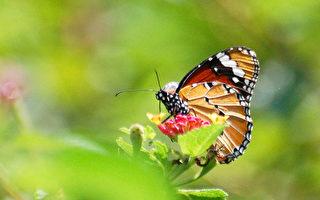 美麗的蝴蝶 (王嘉益 / 大紀元)