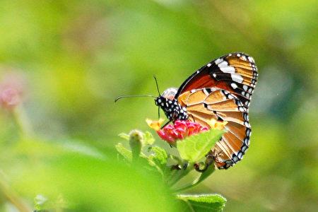 美丽的蝴蝶 (王嘉益 / 大纪元)