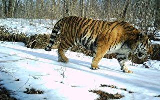 月26日到4月2日,吉林珲春东北虎国家级自然保护区管理局人员郎建民,拍摄到野生东北虎的珍贵照片,野生东北虎是世界10大濒危野生动物之一。(中新社提供)