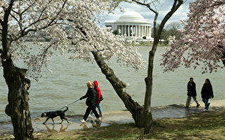 美国最古老的樱花树