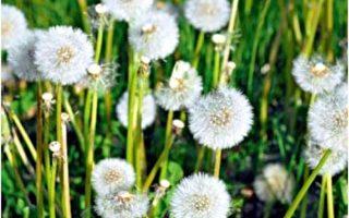 在菊科植物中,蒲公英在法国算是相当普遍。这种植物会在春初开花、散布花粉,可能会引发过敏。(图 :山岳文化 提供)