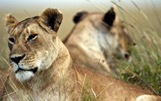 徜徉在肯尼亚(Kenya)马塞马拉国家野生动物禁猎保护区的慵懒非洲狮群。(MARCO LONGARI/AFP/Getty Images)