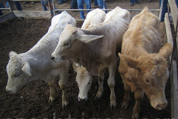 明朝人朱恺家里从来不吃牛肉、狗肉,已经有三代了。(摄影:EET / 大纪元)