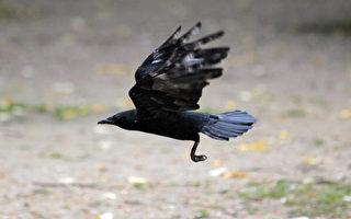 繁殖期的乌鸦很具攻击性。(JACQUES DEMARTHON/AFP/Getty Images)