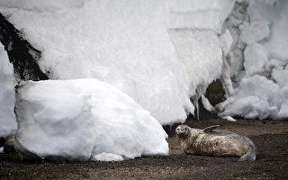生活在冰天雪地上的南极海豹。(MARTIN BUREAU/AFP/Getty Images)
