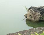 突出的猪鼻子,再加眼睛、耳朵的形状,传神的猪头石模样。(摄影:容乃加/大纪元)