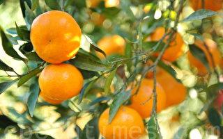 橘子熟了(摄影:简玬/大纪元)