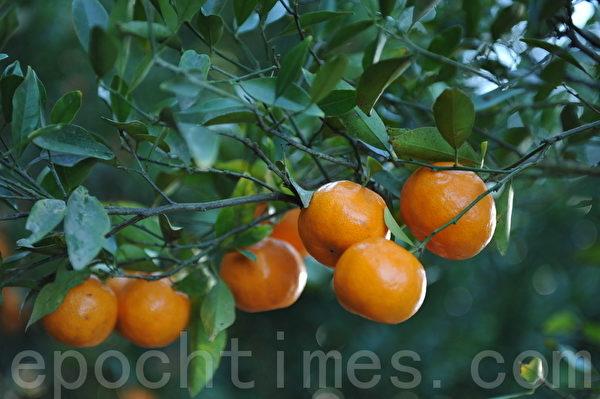 最是橙黄橘绿时(攝影:簡玬/大紀元)